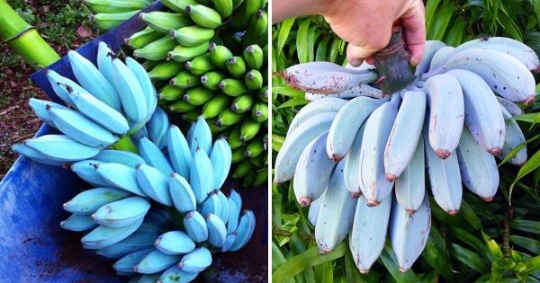 不是突變!「天然藍蕉」世界罕見 內行大推滋味:香蕉界哈根達斯