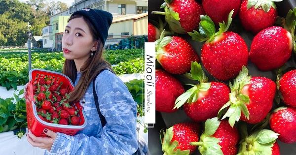 【苗栗】爽吃草莓季登場!大湖9草莓園區「免費進入」 還加碼推「9折優惠」